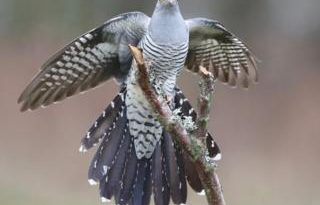 Epic 7,500-mile cuckoo migration wows scientists