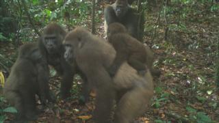 , World's rarest great ape pictured with babies