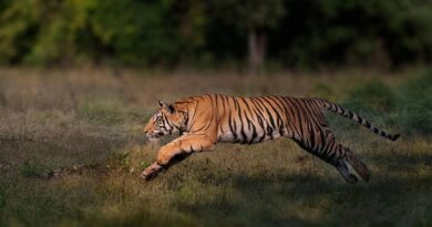 , 'Remarkable comeback' as number of wild tigers rises in five countries | World News