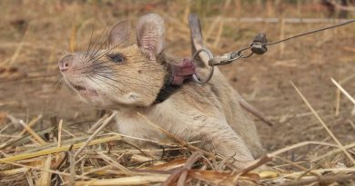Rat awarded medal for 'lifesaving bravery' after detecting dozens of landmines in Cambodia | World News