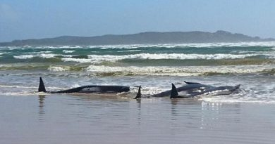 Almost 90 long-finned pilot whales rescued after record beaching in Australia | World News
