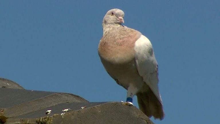 Skynews Joe Racing Pigeon Australia 5236859.jpg
