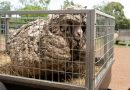skynews baarack sheep shorn 5284439.jpg