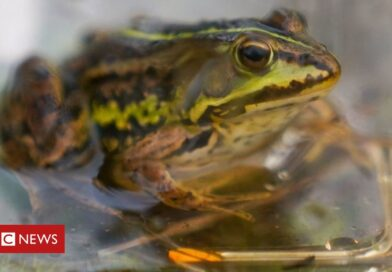 Northern pool frog project reversing extinction say experts