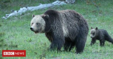 Woman charged for disturbing Yellowstone mother grizzly