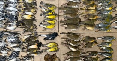 New York: Hundreds of migrating songbirds die after crashing into skyscrapers | US News